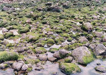 Green moss at the base of Haystack rock